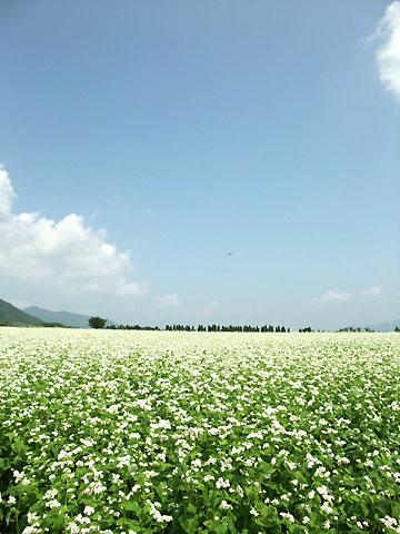 蕎麦の花(南箕輪村、大芝上)