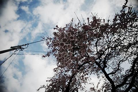 黄梅院の枝垂れ桜(飯田市)