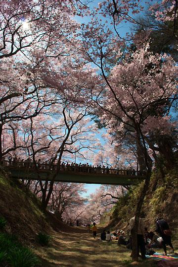 高遠城址公園の桜(伊那市)