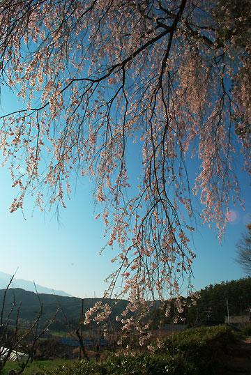栖林寺のしだれ桜(駒ヶ根市)