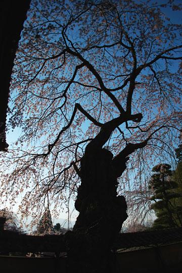 蔵沢寺の桜(駒ヶ根市)