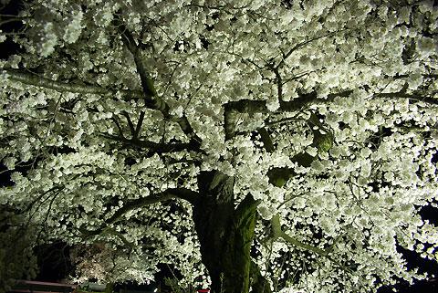 三峰川青島堤防の夜桜(伊那市)