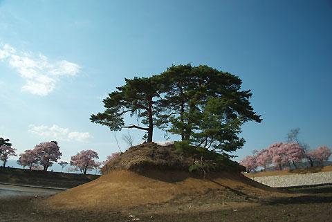 六道の堤の桜、改修中(伊那市)