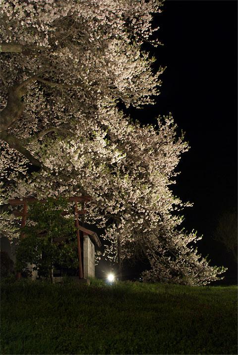 中曽根の権現桜(箕輪町)