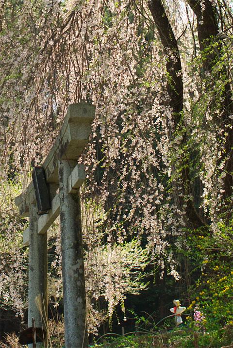 五郎山登山口のしだれ桜(伊那市)