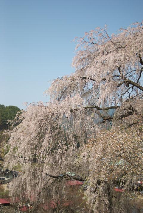 勝間薬師堂のしだれ桜(伊那市)