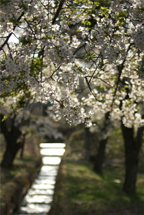 千人塚公園の桜(飯島町)