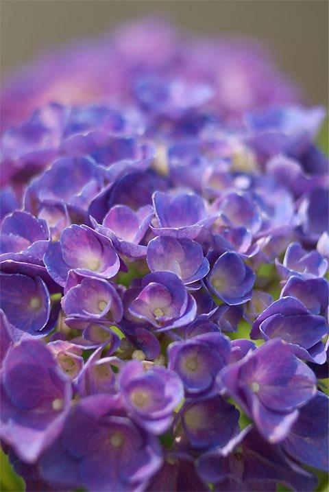 深妙寺の紫陽花(伊那市)