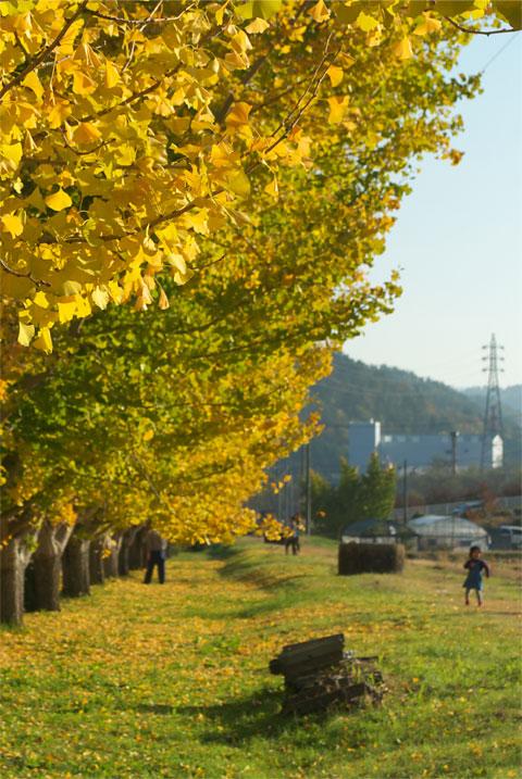 渡場の銀杏(中川村)