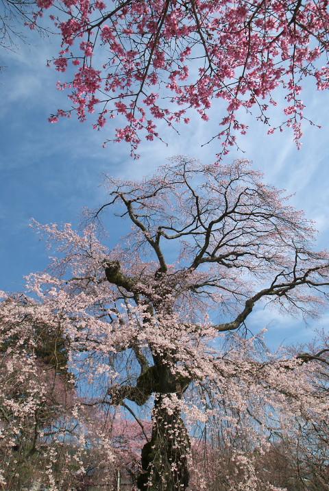 大島山瑠璃寺の枝垂桜(下伊那郡高森町)