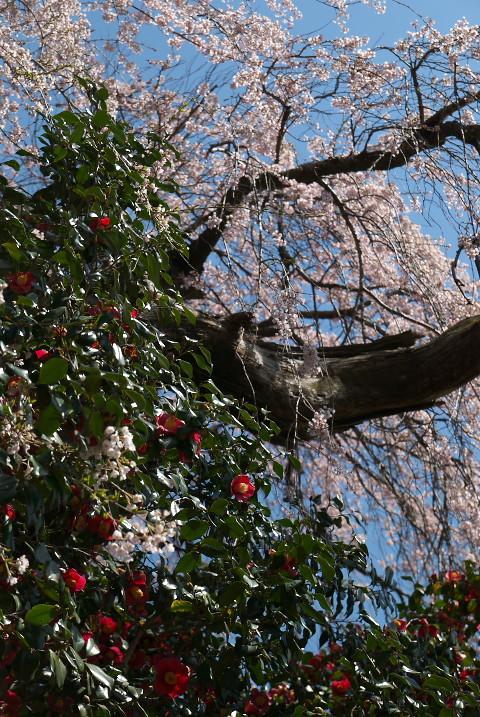 上野の椿桜(飯田市)