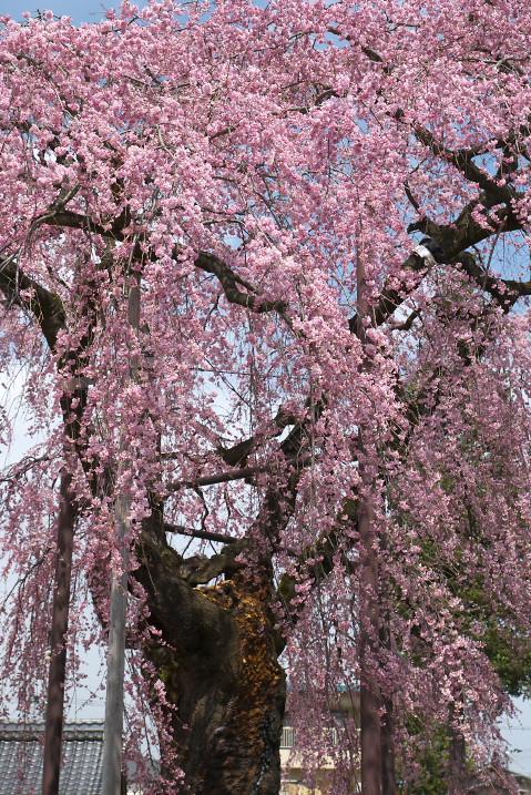 専照寺の枝垂れ桜(飯田市)