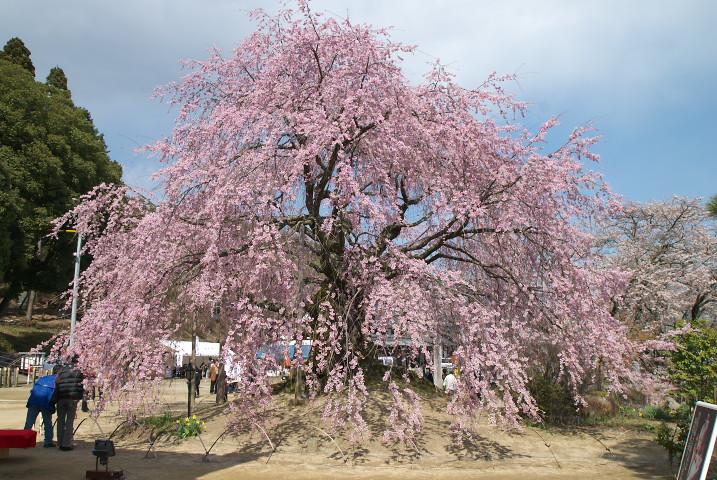 麻績の里 舞台桜(飯田市)