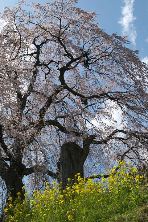 麻績の里 石塚桜(飯田市)