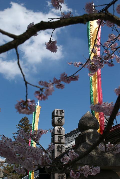 定額山元善光寺の桜(飯田市)