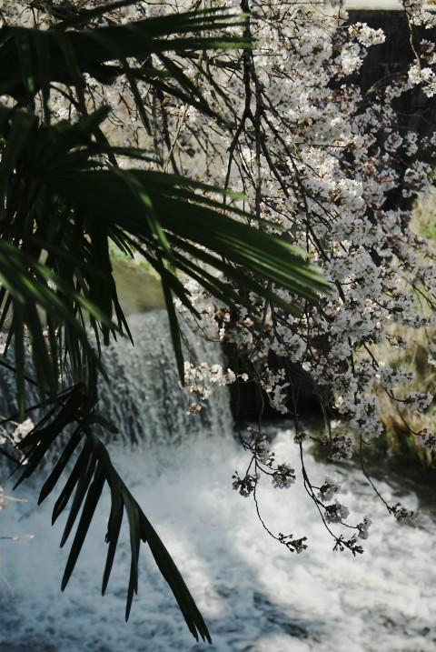 高森駅近く、桜のトンネル(高森町)