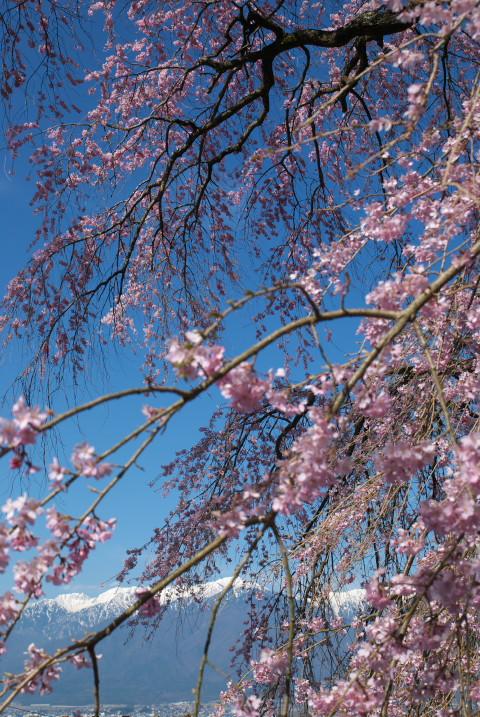 栖林寺の枝垂桜(駒ヶ根市)