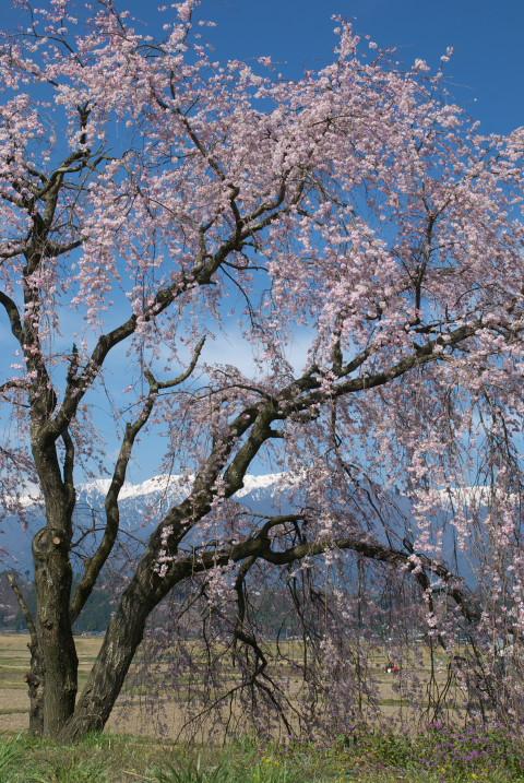 新宮橋傍の桜(駒ヶ根市)