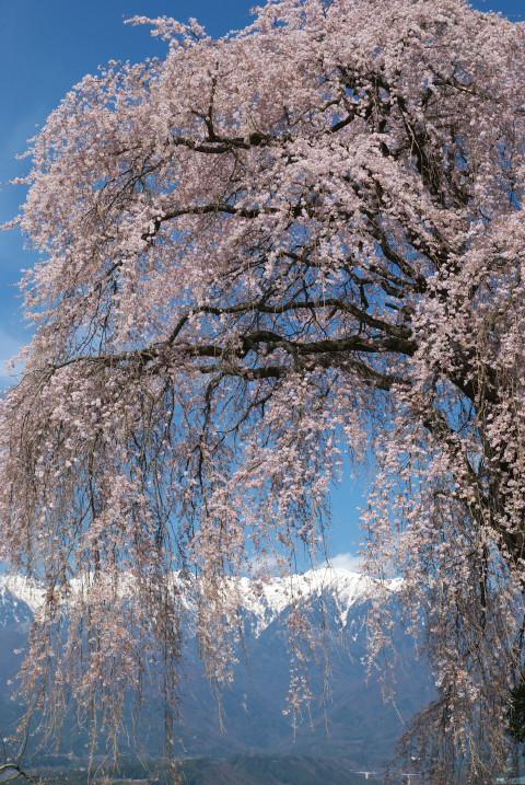 吉瀬の枝垂れ桜