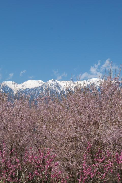 吉瀬界隈の桜ならびにエトセトラ