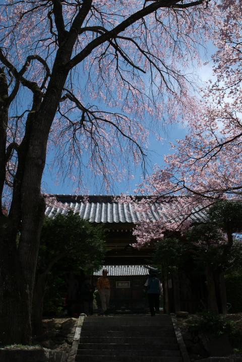 蔵沢寺のしだれ桜(駒ヶ根市)