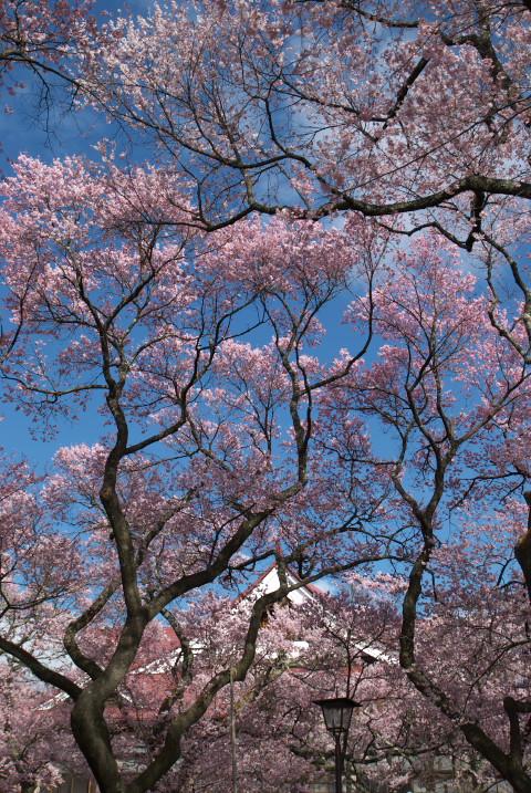 高遠城址公園の桜(伊那市高遠町)