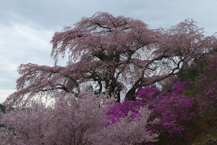 西丸尾のしだれ桜(中川村)