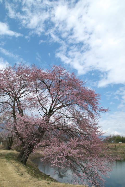 勘助堤の桜(飯島町七久保)