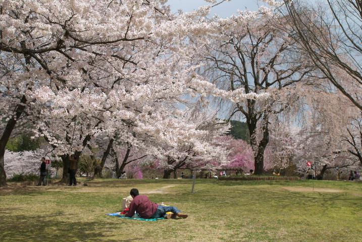 大草城址公園の桜(中川村)