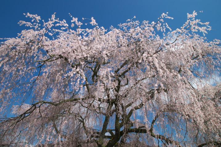 勝間薬師堂のしだれ桜とか(伊那市)