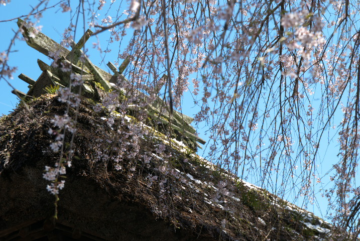 桑田薬師堂の枝垂桜 [landscape](伊那市長谷)