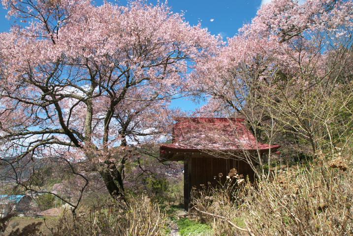 常福寺の桜 [landscape](伊那市長谷)