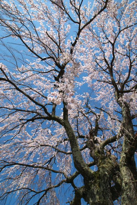 常福寺の桜 [portrait](伊那市長谷)