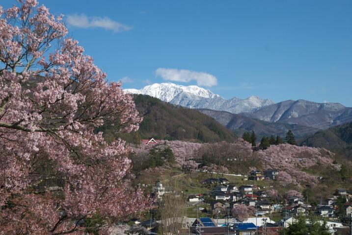 高遠城址公園の桜、その降雪後の望見(伊那市高遠町)