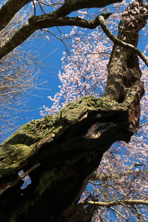 今泉の薬師堂の枝垂れ桜(伊那市)