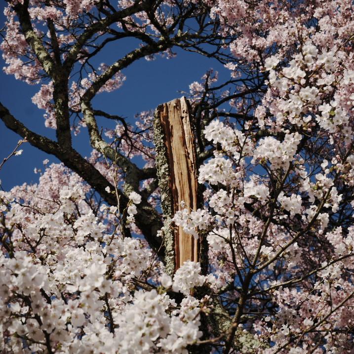 北新公民館の桜(伊那市)