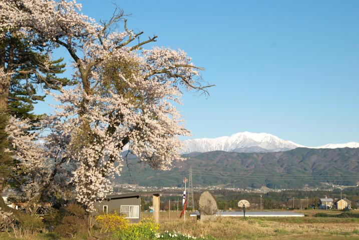 西春近で桜(伊那市)