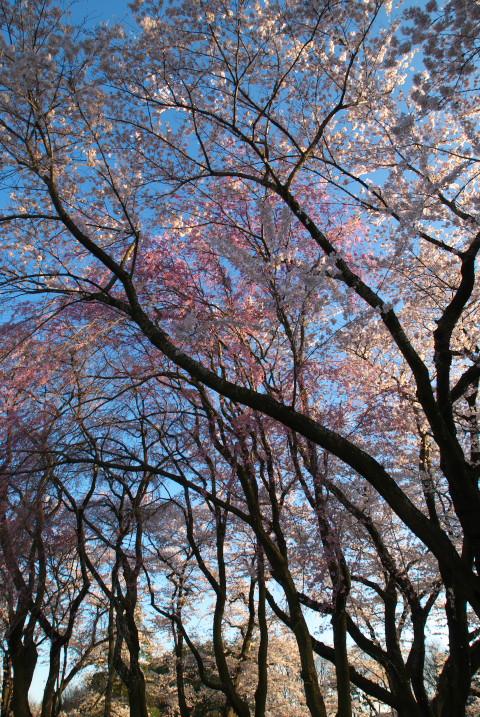 春日公園で黄昏時の桜(伊那市)