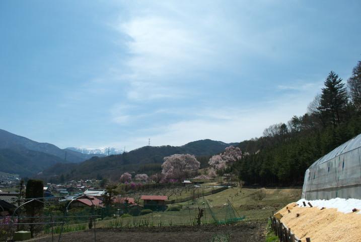 勝間薬師堂のしだれ桜の遠景とか(伊那市高遠町)