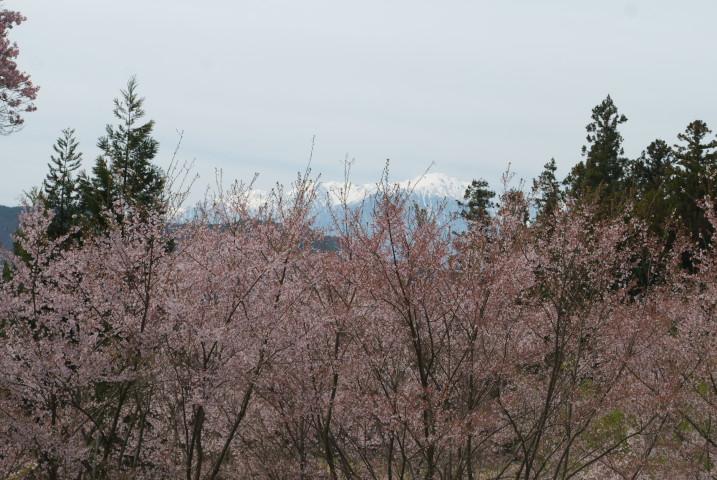 みすず公園の桜とか(伊那市)