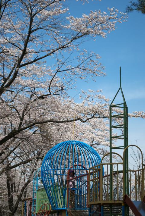 たつの海の鯉のぼりと桜(辰野町)