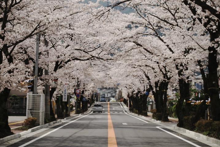 城前線の桜並木(辰野町)
