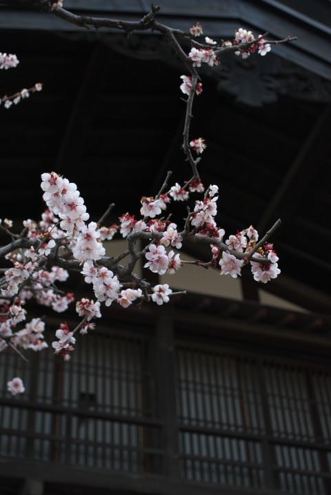 小野宿と梅の花(辰野町+塩尻市)