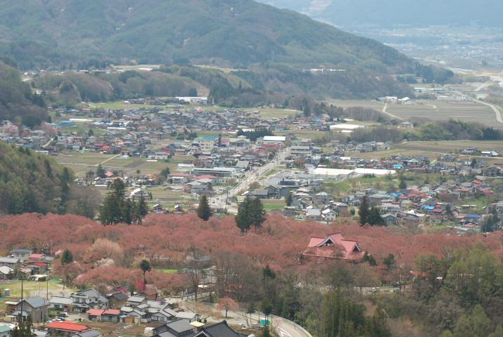 高遠城址公園の桜、ロケハン(お日さまが顔だす側から)(伊那市高遠町)