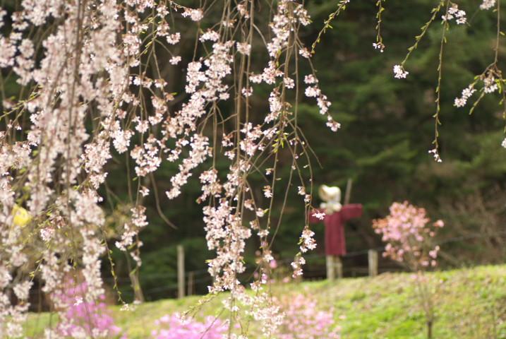 五郎山登山口の枝垂れ桜(伊那市)