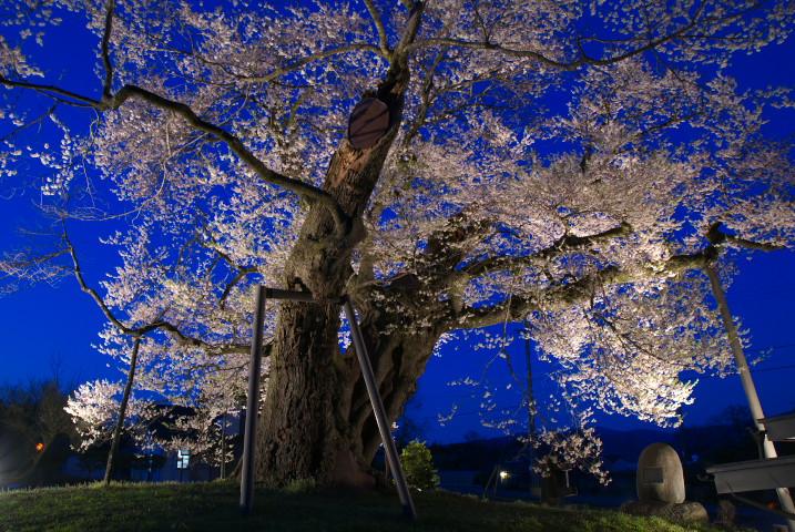 中曽根の権現桜 or 夫婦桜(箕輪町)