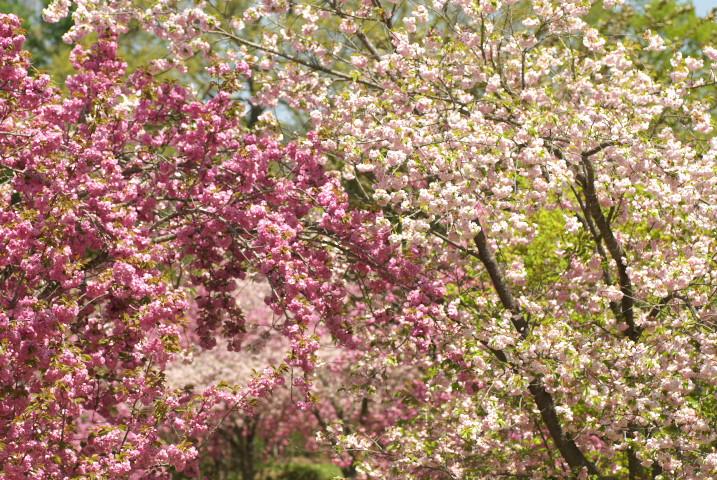 花の丘公園の桜とか(伊那市高遠町)