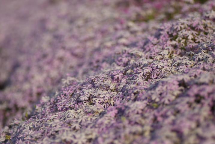 小沢花の会の芝桜(伊那市)