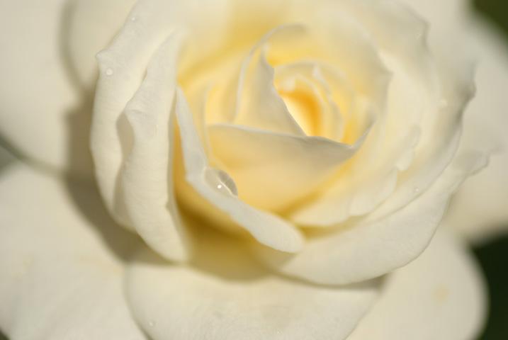 高遠しんわの丘ローズガーデン 秋のバラ祭り(伊那市高遠町) - 2010/10/10(日)