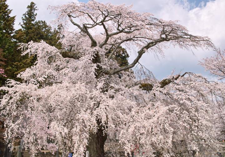 瑠璃寺の枝垂桜(下伊那郡高森町) - 2011/4/16(土)